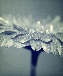 Bild mit Blumen, Gerberas, Blume, Gerbera, Wassertropfen, Regentropfen, Tropfen, Blüten, blüte, schwarz weiß, SW, drop, gerberablüten