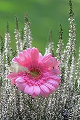 Bild mit Blumen, Gerbera
