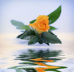 Bild mit Pflanzen, Blumen, Rosen, Nutzpflanzen, Blume, Pflanze, Rose, Blüten, blüte, zierpflanzen