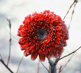 Bild mit Blumen, Gerberas, Rot, Blume, Gerbera, Blüten, blüte, Blütenblätter, gerberablüten