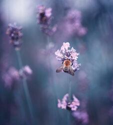 Bild mit Natur, Lavendel, Blume, Nature, Nature, Flower, Tropfen, Floral, Flora, farbig, color, pearls