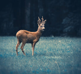 Bild mit Natur, Tier, Animal, Reh