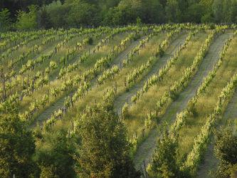 Bild mit Berge und Hügel, Berge, Weinstöcke, Weingut, Feld, Felder, Wein, Weinberge, Weinfelder