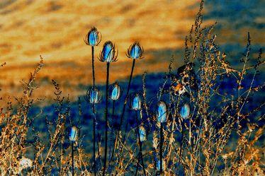 Bild mit Gelb, Natur, Pflanzen, Blumen, Blau, Disteln, Blume, Pflanze, Nature, Abstrakt, yellow, blue, Bunt, Distel, Pflanzenwelt, blühende Disteln, garden, thistle