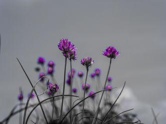 Bild mit Natur, Pflanzen, Blumen, Lila, Nature, Abstrakt, garten, Schnittlauch, allium, violet, wachsen