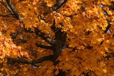 Bild mit Natur, Holz, Herbst, Baum, Tree, Park, Park, Herbstblätter, garten, Ahorn, leaves, stamm, autumn