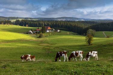 Bild mit Natur, Kühe, Landschaft, Landschaften & Natur, Wiesen, landwirtschaft, Baden, schwarzwald, Unterfallengrundhof, unterfallengrund, gütenbach, neukirch, furtwangen, hochschwarzwald, die Faller's, die Fallers, bauernhof, Wuerttemberg