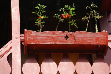 Balkonkasten mit Tomatenpflanzen