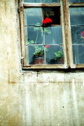 Rote Geranie im alten Fenster