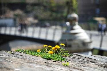 Löwenzahn auf Mauer mit Brücke im Hintergrund