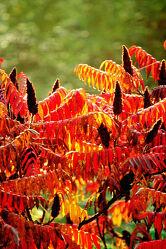 Essigbaum mit Rotfärbung im Gegenlicht