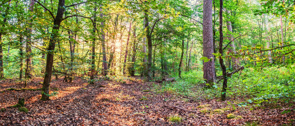 Bild mit Natur, Pflanzen, Bäume, Jahreszeiten, Sommer, Sonnenaufgang, Sonne, Wald, Panorama, Waldlichtung, Sonnenstrahlen