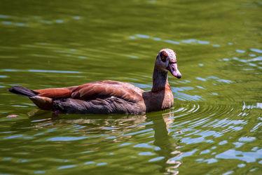 Schwimmvogel