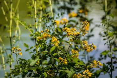 Bild mit Gelb, Natur, Wasser, Grün, Pflanzen, Gräser, Jahreszeiten, Sommer, Kräuter, Blüten, blühen, Johanniskraut, Heilpflanzen
