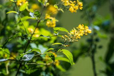 Bild mit Gelb, Natur, Jahreszeiten, Sommer, Kräuter, Sonne, Blätter, Heilpflanze, Licht, Blüten, Wiesen, Schatten, Johanniskraut