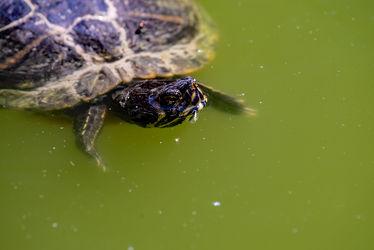 Bild mit Natur, Wasser, Sonne, Tier, Licht, Reptil, Relaxen, Schatten, Ruhend, Wasserschildkröte, schwimmend, Spiegeluhngen, urzeitlich, wechselwarm, Panzer