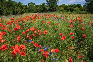 Bild mit Natur, Grün, Gräser, Jahreszeiten, Rot, Blau, Sommer, Mohn, Landschaft, Feld mit Mohnblumen, Wiese, Licht, Feld, Schatten, Kornblumen