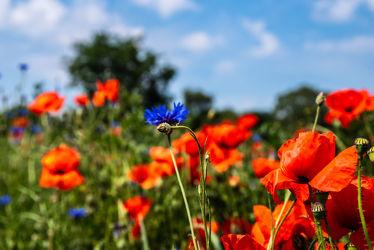 Bild mit Natur, Grün, Pflanzen, Gräser, Jahreszeiten, Rot, Blau, Sommer, Kräuter, Landschaft, Klatschmohn, Wiese, Licht, Feld, landwirtschaft, Schatten, Kornblumen, Mohn. Mohnblumen