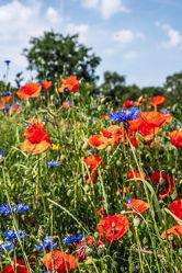 Bild mit Natur, Grün, Gräser, Jahreszeiten, Rot, Blau, Sommer, Mohn, Kräuter, Kräuter, Landschaft, Mohnblume, Klatschmohn, Wiese, Licht, Feld, Land, Schatten, Kornblumen, Gewächse, wirtschaft