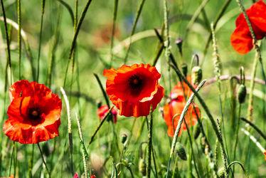 Bild mit Natur, Gräser, Jahreszeiten, Rot, Sommer, Mohn, Klatschmohn, Wiese, Licht, Feld, landwirtschaft, Kornfeld, Schatten, Outdoor