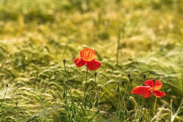 Bild mit Natur, Grün, Gräser, Jahreszeiten, Rot, Sommer, Mohn, Kräuter, Klatschmohn, Licht, Bunt, Landschaftsfotografie, Wiesen, dekorativ, landwirtschaft, Schatten, Wachstum, Teleobjektiv