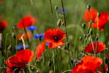 Bild mit Natur, Grün, Gräser, Jahreszeiten, Rot, Blau, Sommer, Mohn, Kräuter, Landschaft, Klatschmohn, Wiese, Licht, Feld, Mohnblumen, Land, Schatten, Kornblumen, Gewächse, wirtschaft