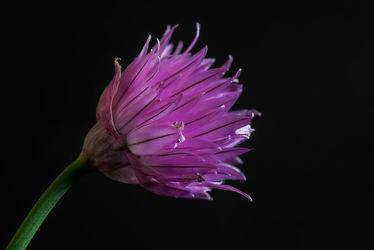Bild mit Natur, Grün, Lila, Violett, Frühling, Pflanze, Makro, Gemüse, Licht, Bunt, garten, blüte, nahaufnahme, Schnittlauch, Schatten, Wachstum, Freigestellt, Gewürze, Hochbeet