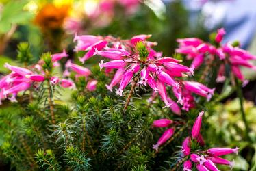 Bild mit Natur, Grün, Blumen, Violett, Makro, Licht, Bunt, Blüten, garten, Schatten, Gewächse, nahaufnahmen, Hochbeet, Wachsheide