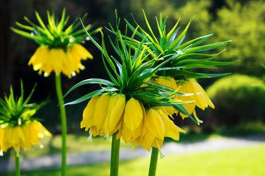 Bild mit Laubblätter, Zwiebeln, Stängel, lanzettlich, Überdauerungsorgane, Fritillaria imperialis, Kaiserkrone, ausdauernde, krautige Pflanze, Geophyt, strenger Geruch, Wühlmäuse, beblättert, parallelnervig