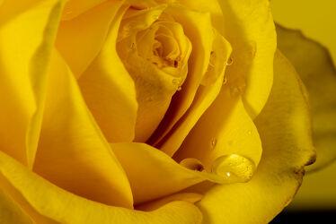 Bild mit Gelb, Blätter, Blume, Pflanze, Rose, Makro, Licht, Tropfen, blüte, nahaufnahme, Tau, Feuchtigkeit, Schatten