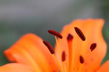 Bild mit Orange, Blume, Pflanze, Makro, Bunt, Lilie, Flora, blütenblatt, nahaufnahme, Pollen, Kräftig, blühen, Narbe, Griffel, Blütenstempel, Kelchblätter