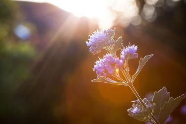 Bild mit Orange, Natur, Grün, Lila, Violett, Abendrot, Blume, Pflanze, Makro, Gegenlicht, Blendenfleck, Blüten, garten, flieder, nahaufnahme, Sonnenstrahlen, Abendstimmung, Knospen, Lensflaire