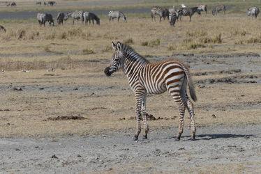 Bild mit Natur, Tier, Säugetier, Afrika, Zebra, Zebraherde, Naturschutzgebiet, Fohlen, safari