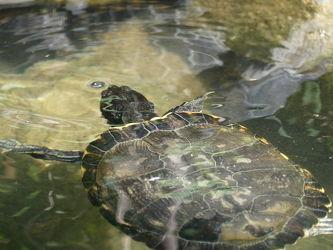 Bild mit Tiere, Wasser, Schildkröte, tauchen, Auftauchend, Wasserschildkröte
