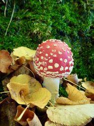 Bild mit Herbst, Herbstblätter, Pilze, pilz, fliegenpilz, fliegenpilze, Moos