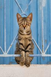 Bild mit Tiere, Blau, Katzen, Tier, Lebewesen, Katze, Katzenbilder, Tierisches, Bunte Tierwelt, Tiere und Tierkinder, tierisch, Fotografien Tiere, Animal, Tierwelt, Kater, lustig, witzig, niedlich, Porträt, Zaun, Tierliebe, Haustier, Haustier, Jung, Tierbilder, Tierfoto, kitty, Tierkind, Katzenwelpe, Kätzchen, hauskatzen, hauskatze, lieb, tabby, Katzenbild, Katzenbild, Katzenliebhaber, Tierfreunde, Katzenfreund, Samtpfote, Katzenfoto, Katzenkind