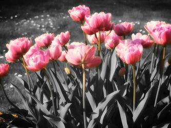 Bild mit Weiß, Schwarz, Blume, Pflanze, Tulpen