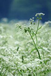 Bild mit Sommer, Blume, Wiese, wiesenblume, blumenwiese, Schafgarbe