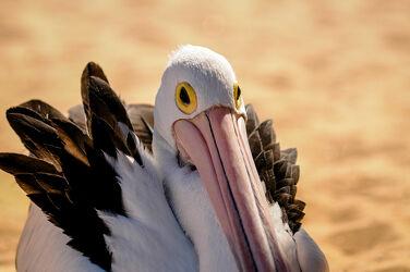 Bild mit Tier, Pelikan