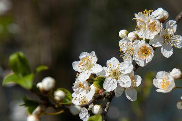 Bild mit Pflanze, blühender Kirschbaum, Kirschblüten, Kirschblüte