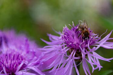Bild mit Pflanzen, Blumen, Bienen, Blume, Pflanze, Biene, Honigbiene, Honigbienen, Nutztiere, Nutztier