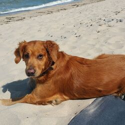 Hund Golden Retriever am Strand