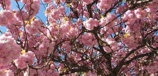 Bild mit Himmel, Himmel Panorama, blühender Kirschbaum, Kirschblüten