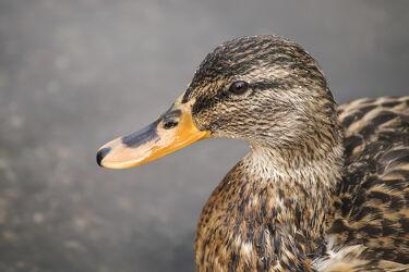 Bild mit Vögel, Vögel, Entenvögel, Enten, Wasservögel, Wasservögel, Ente, Stockente, Blick, Portrait, Schnabel, Weibchen