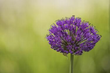 Bild mit Lila, Blume, Pflanze, Florale Schönheiten, Blütenträume, blüte, Zierlauchblüte, Zierlauch, Zierpflanze, bokeh