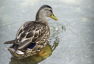 Bild mit Wasser, Vögel, Entenvögel, Wasservögel, Ente, Stockente, See, Teich