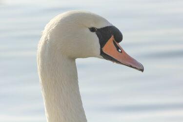 Bild mit Tiere, Vögel, Vögel, Wasservögel, Schwäne, Tier, schwan, Portrait, Kopf, Schwanenkopf