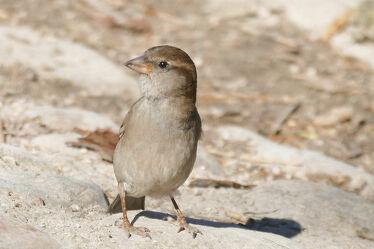 Bild mit Vögel, weiblich, Haussperling, Spatz, Singvögel, einzelner Vogel