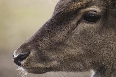 Bild mit Säugetiere, Hirsch, Wildtiere, Rotwild, hirschkuh, Damwild, Jagd
