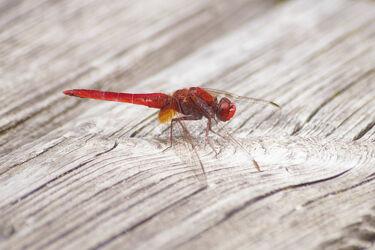 Bild mit Tiere, Rot, Holz, Insekten, Libelle, Insekt